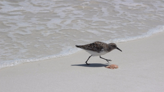 pensacola-beach-bird-shell