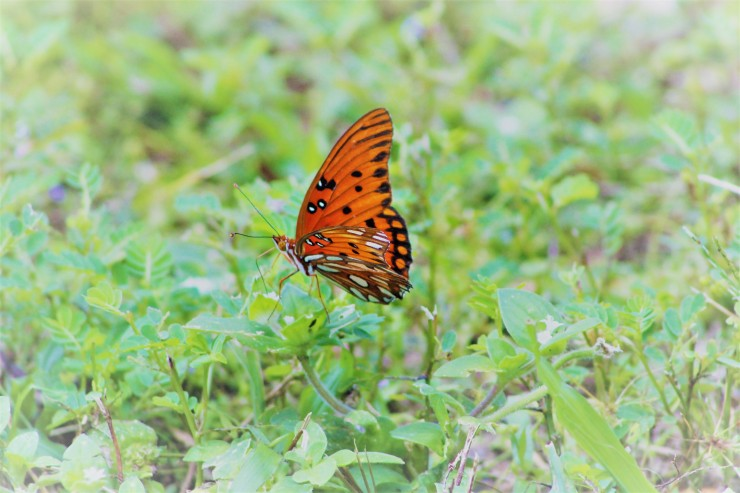 Orange butterfly (6) icarus