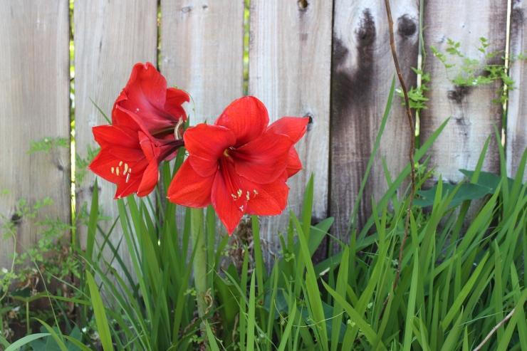 Flowers, red amaryllis (25)