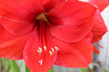 Flowers, red amaryllis (26)