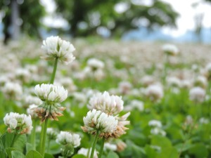 entire field of white clovers