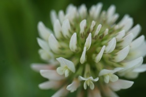 close-up of a white clover